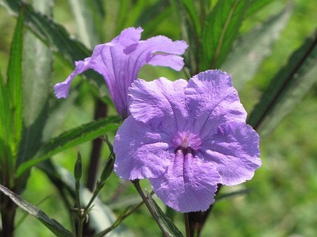 Mexican, Petunia, Flowers, Purple, Petals, Blossoms