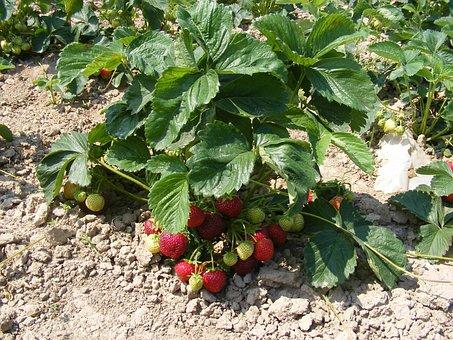 Strawberries, Strawberry Bush, Strawberry Bushes