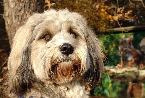 Dog, Tibetan Terrier, Small Dog, Portrait, Close
