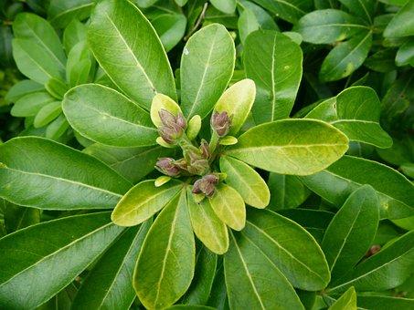 Choisya Ternata, Mexican Orange Blossom, Wildflower