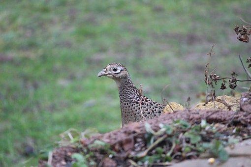 Pheasant, Animal, Bird, Phasianus Colchicus, Species