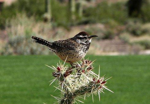 Campylorhynchus, Brunnei, Cactus Wren, Cactus, Plant