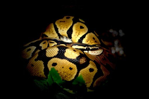 Ball Python, Python, Snake, Constrictor, Jungle
