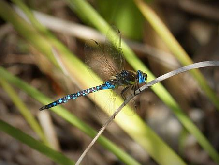 Dragonfly, Blue, Wings, Insect, Aquatic