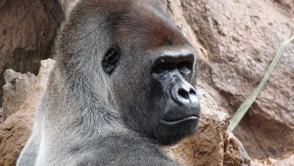 Gorilla, Male, Endangered Species, Ape, In Captivity