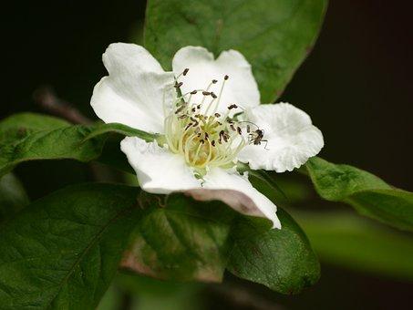 Mispelblüte, Mispelstrauch, Blossom, Bloom, Medlar