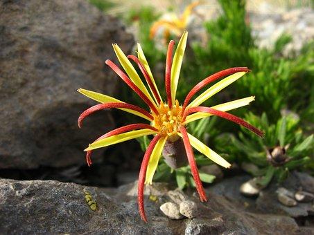 Wild Flora, Native Flower, Lircay, Mutisia Linearifolia