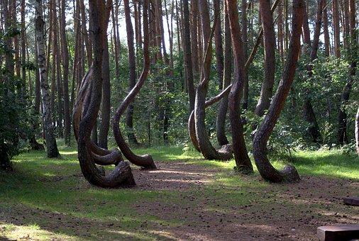 Krzywy Las, Tree, Gryfino, Park, Interesting Fact