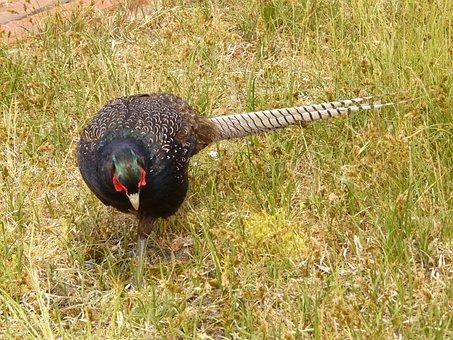 Pheasant, Phasianus Colchicus, Bird, Species, Hahn
