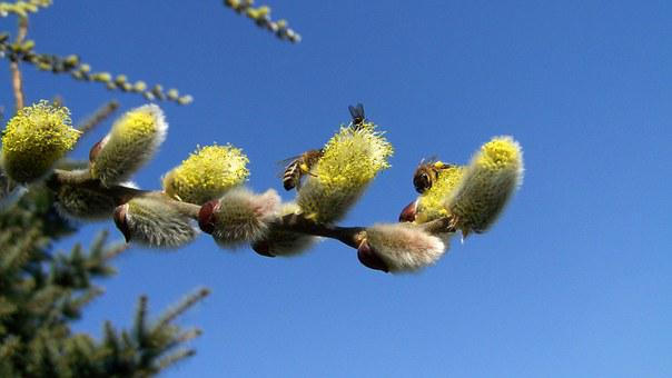 Flowering Branch Of Barka, Bees, Insects, Pollination