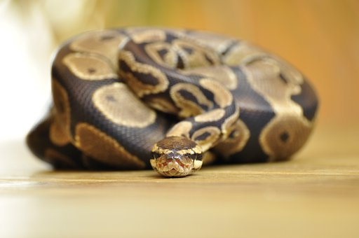 Snake, Ball Python, Scale, Constrictor