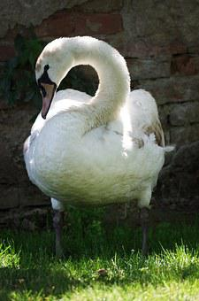 Swan, Bird, White, Aqueous, Feathers, Beak