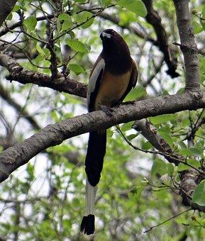 Rufous Treepie, Dendrocitta Vagabunda, Treepie, Bird