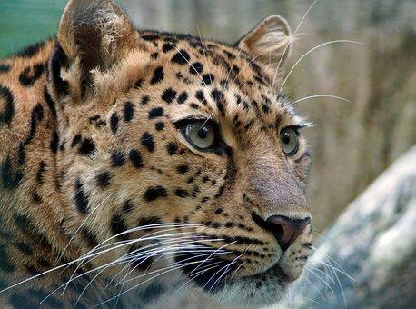 Leopard, Amur, Cat, Cat's Eye, Wildcat, Big Cat