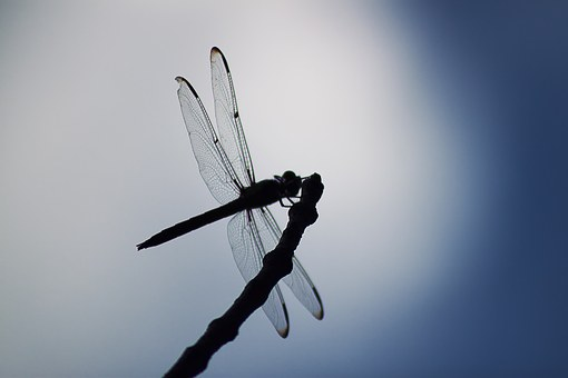 Dragonfly, Insect, Animal, Wings, Fauna, Wildlife