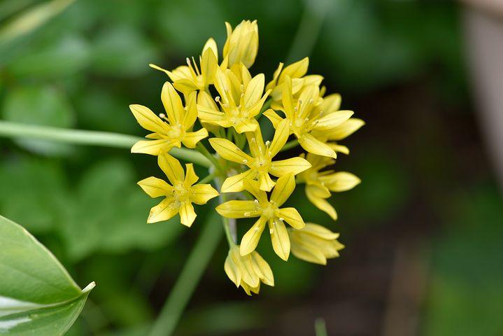 Lily Leek, Flower, Blossom, Bloom, Yellow, Plant