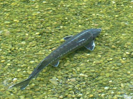 Sterlet, Fish, Acipenser Ruthenus, River, Water