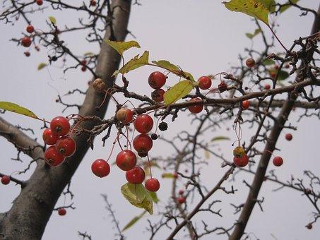 Washington Hawthorn, Berries, Tree