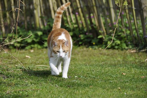 Cat, Hangover, Cats, Pet, Red, White, Animal, Gijs