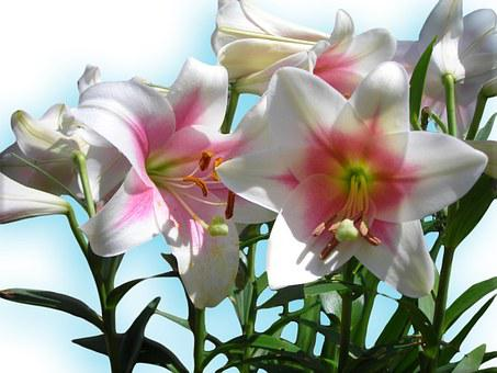Lilies, Blue, Sky Blue, White, Flowers, Easter, Spring