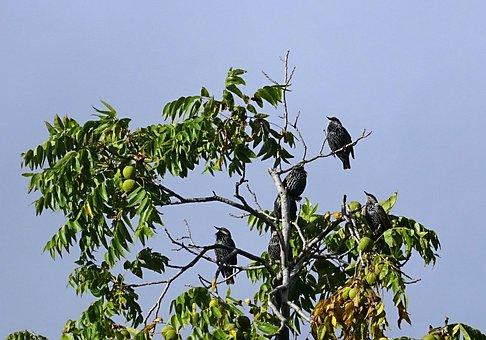 European Starling, Common Starling, Sturnus Vulgaris
