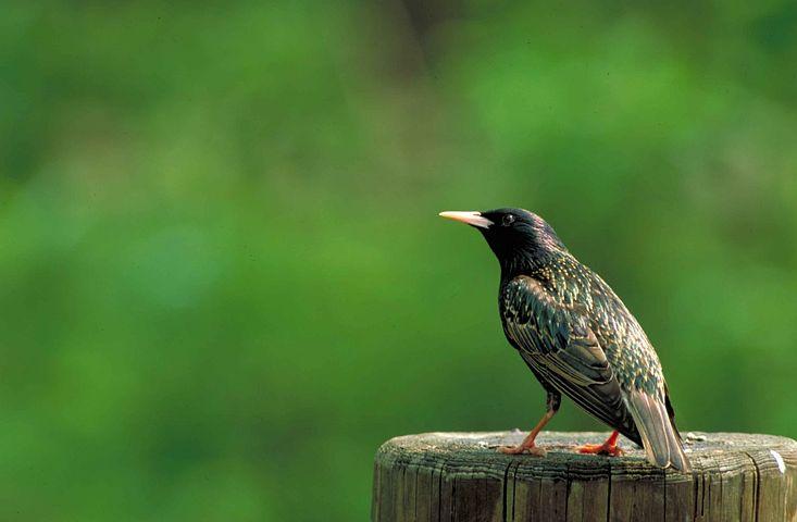 Bird, Starling, European, Vulgaris, Sturnus, Birds