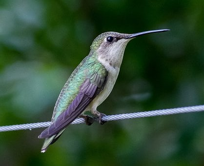 Hummingbird, Trochilidae, Bird, Animal, Nectar, Feather