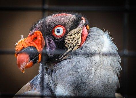 King Vulture, Bird, Scavanger, Central American