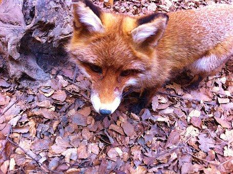 Red Fox, European Fox, Mammal