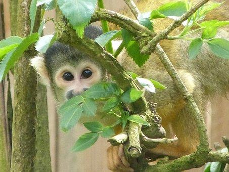 Saimiri, Monkeys, Animals