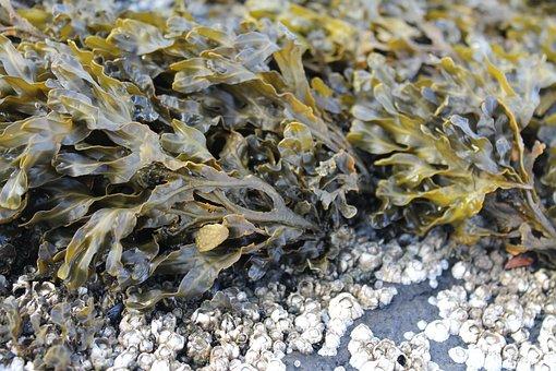Seaweed, Plant, Sea, Water, Nature, Beach, Flora, Bay