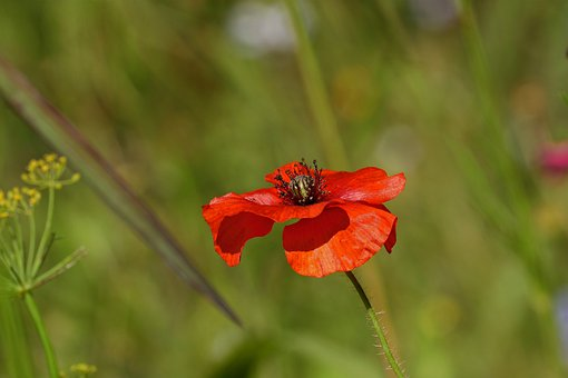 Poppy, Nature, Blossom, Bloom, Red, Colorful, Garden