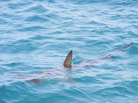 Shark Fin, Shark, Fin, Sea, Fish, Ocean, Water, Animal
