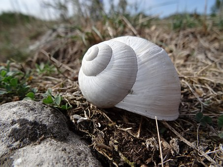 Shell, White Snail, Stagnate, Animal, Small, Grass
