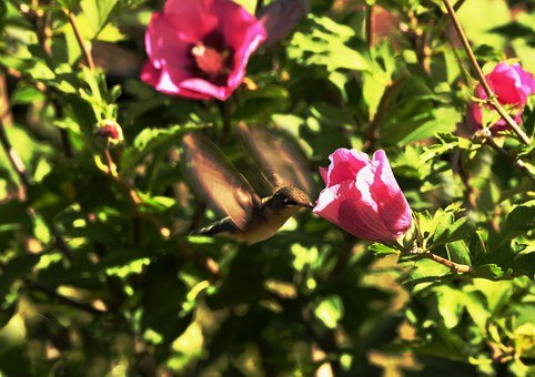 Hummingbird, Small Birds, Wings, Brightly-colored