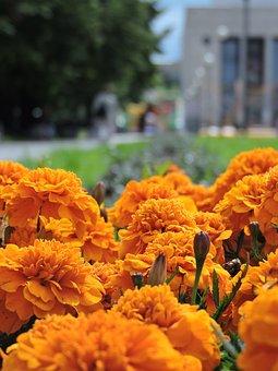 Marigold, Flowers, Yellow, St Petersburg