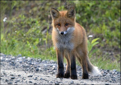 Norway, The Red Foxes, Puppy, Summer, The Nature Of The