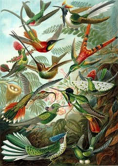 Hummingbirds, Birds, Trochilidae, Haeckel, Swifts