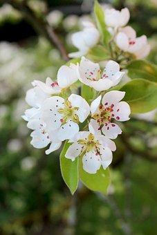 Pear, Blossom, Bloom, Pyrus Communis, Fruit, White