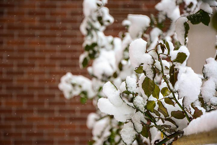 Photo, The Leaves, Winter, Snow, Rose, Bushing