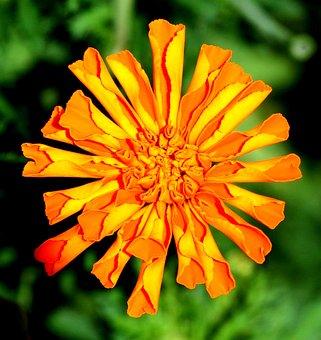 Marigold, Flowers, Blossom, Fresh, Floral, Summer