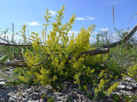 Lady's Bedstraw, Branch, Pebble Beach, Oland