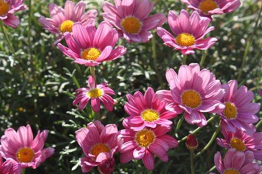 Margaretha, Flower, Pink, Petals, Flora