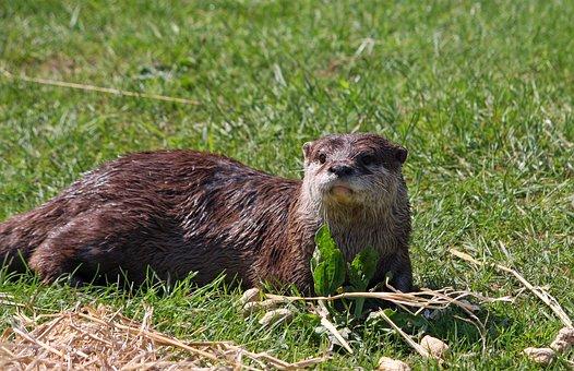 Otter, European Otter, Animal, Wildlife, Nature
