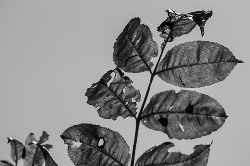 Black White, Leaves, Sun, Sky, Leaf Veins, Nature