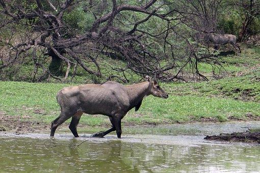 Nilgai, Antelope, Boselaphus Tragocamelus, Nilgau