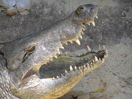 Crocodile, Close, Dangerous, Tooth, Eye, Reptile
