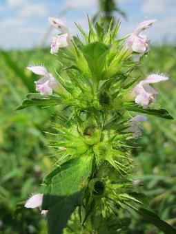 Ballota Nigra, Black Horehound, Wildflower, Flora