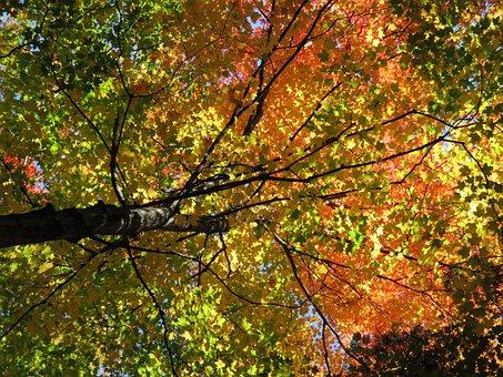 Fall, Leaves, Maple, Sugar Maple, Autumn, Yellow