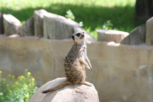 Markat, Hakuna Matata, Animal, Zoo